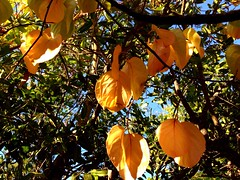 Persimmon (sjrankin) Tags: california fall northerncalifornia fallcolor edited persimmon processed filtered uploaded:by=flickrmobile colorvibefilter flickriosapp:filter=colorvibe 14october2013