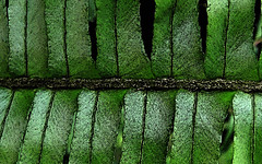 Fern (Selqet) Tags: fern macro leaves foglie nikon october coolpix 2010 manipulatedphoto p100 felce selqet
