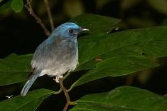 Blue Bird (antonsrkn) Tags: blue wild bird forest aves jungle malaysia borneo sabah avian danum flycatcher danumvalley dvfc paleblueflycatcher cyornisunicolor dvca