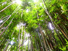 To the Sky (Whitney C. Weber) Tags: green hawaii forrest maui bamboo trail hana tall lush roadtohana
