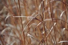winter grass (christiaan_25) Tags: winter light brown nature beauty grass leaves sunshine season tan earthy blades tallgrass stalks earthtones