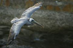LA JOLLA 28 (Detective Steve) Tags: california bird nature sandiego flight lajolla pelican