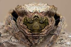 Big-Headed Bark Spider (Caerostris sp.) - ESC_0584 (nickybay) Tags: macro spider singapore web orb bark bigheaded upperpeircereservoir caerostris