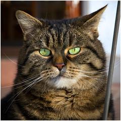 The Sunny Girl (FocusPocus Photography) Tags: portrait sunshine cat feline chat tabby kitty portrt greeneyes gato katze cleo sonne shorthaired getigert tigerkatze grneaugen kurzhaarkatze