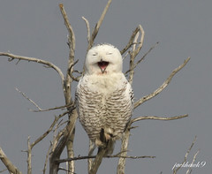"""Snowy Owl"" ""Bubo scandiacus"" (jackhawk9) Tags: nature birds canon newjersey wildlife ngc raptors owls birdsofprey snowyowl edwinbforsythenationalwildliferefuge buboscandiacus jackhawk9"