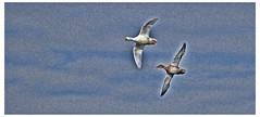 Flying Ducks (tina777) Tags: sky bird birds clouds flying duck lakes ducks vale glamorgan mallard aylesbury cosmeston