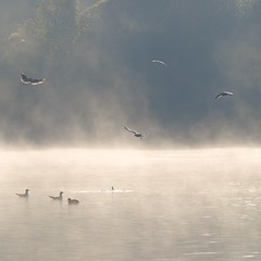 Activité matinale ****-+°° (Titole) Tags: squareformat mouettes seagulls gulls brouillard fog nicolefaton titole friendlychallenges explored thechallengefactory storybookttwwinner ultrahero thumbschamp 15challengeswinner