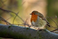 Round Robin... (klythawk) Tags: nottingham winter orange brown black green bird nature robin grey beige december branch dof olympus panasonic omd 100300mm em5 colwickpark klythawk