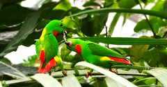green nature parakeet birdseating catchycolorsgreen catchycolorsred birdpairs
