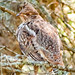 "ruffed-grouse-sprucehen,nature<br /><span style=""font-size:0.8em;"">Taken at Quetico Provincal Park.<br />The bird is well camouflaged, and sits  still when perched. </span> • <a style=""font-size:0.8em;"" href=""http://www.flickr.com/photos/18570447@N02/11587883606/"" target=""_blank"">View on Flickr</a>"
