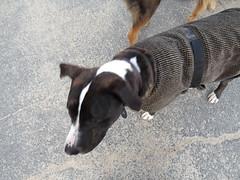 20140108_Canon_SX50_0147 (rlg) Tags: rescue dog white male animal austin wednesday mammal mutt jasper texas coat gray january pitbull 08 0108 2014 fpr 201401 28nov09 jasperrg canonsx50 20140108 austinmh 01082014