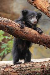 Sloth Bear Cub by beth keplinger on Flickr. (julieforever89) Tags: bear by cub flickr beth sloth keplinger