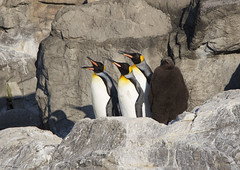 king penguins (* Yumi *) Tags: bird animal penguin