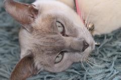Tonkinese Cat | Cat Owner Club