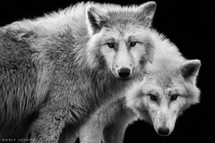 attention (Wolf Ademeit) Tags: two bw eyes wolf sony sigma attention wolves specanimal wolfademeit