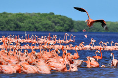Looking for a parking spot (osbo) Tags: pink mexico flamingo flight yucatan landing celestun