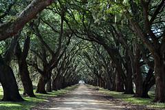 Oak Avenue (Rob McC) Tags: trees usa oak louisiana dof shade plantation spanishmoss avenue