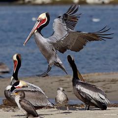 Brown Pelican ad., landing, Malibu Lagoon CA IMG_4680 (Hart Walter) Tags: pelicans westerngull greatblueheron osprey malibulagoon egrets bonapartesgull sanderlings shorebirds glaucouswingedgull californiabrownpelican pelicanpouch pelicanneckstrtching
