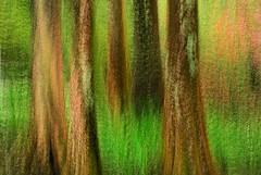 * Woods * (JHRphotoART) Tags: trees abstract digital woods fineart digitalart multipleexposure cypresses jhrphotoart