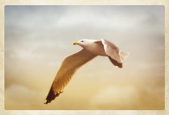 Quei infiniti battiti d'ali capaci di rubarti il cuore e l'anima... (Salvatore Brontolone) Tags: bird sepia photo wings eagle border flight stylized
