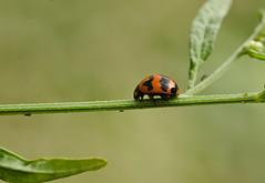 Ladybug (Chaithanya Krishnan) Tags: park india macro nature bug insect nikon bangalore insects ladybird ladybug beetles coccinellidae sigma105mm chaithanya indiannature nikond7000 chaithanyakrishnan herballake