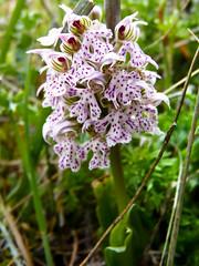 Orchis lactea (Nelleke C) Tags: italy holiday vakantie flora orchidaceae sicily grassland etna italie bronte maquis garrigue sicilie 2011 grasland orchislactea milkyorchid