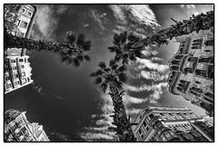 Tres (jacobo_gonzalez_castrodeza) Tags: barcelona blackandwhite bw blancoynegro contrast nikon bcn palmeras palm cielo contraste jacobo autofocus skie d80 rememberthatmoment rememberthatmomentlevel1
