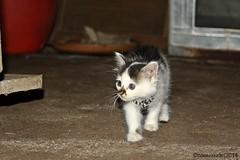 Kitten (sonyxyde) Tags: cat canon indonesia kitten asia eastjava banyuwangi 1000d licin