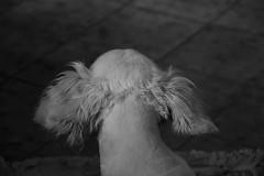 Il mio cane ha il caschetto. (chiara91schi) Tags: dog cane taglio bau capelli caschetto thelittledoglaughednoiretblancet