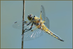 Four-spotted Chaser (image 1 of 3) (Full Moon Images) Tags: macro nature insect dragonfly wildlife bcn reserve national trust fen cambridgeshire chaser woodwalton fourspotted nnr greatfen greatfenproject