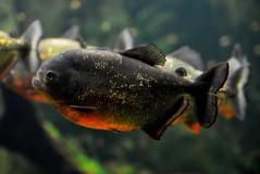 (pringle-guy) Tags: fish london animals nikon sealife piranha londonaquarium