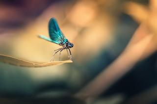 Banded demoiselle /Calopteryx splendens/
