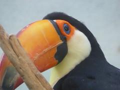 toucan 2 (blue_bunny288) Tags: toucan bird