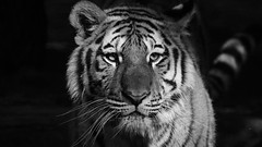 """Tg Nbg      """"von vorn bis hinten""""       160928 (Eddy L.) Tags: tiergartennrnberg tiergartenfreundenrnbergev nuremberg tiger jungtier aljoscha volodya 672015 portrait schwarzweis 169 schwarzerhintergrund sibirischertiger amurtiger ussuritiger siberiantiger amurskiytigr tigredesibrie tigresiberiano minoltaafreflex500 sonyphotographing blackwhite blanconegro biancoenero noiretblanc monochrome bw wildfelinephotography wildcatworld teamsony eddyl bigcat highiso sw"""