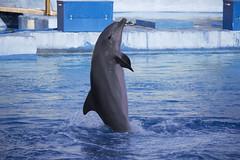 Delfn equilibrista (Elishue [~Eli~]) Tags: delfn equilibrio agua zoo oceanografic valencia