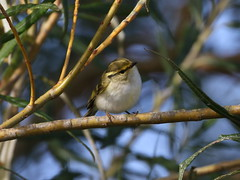 Pallass's Warbler (AndydS6) Tags: pallasswarbler donnanook lincolnshire
