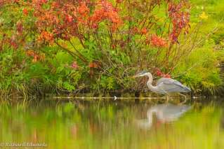 Great Blue Heron- *Explore