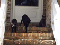 basil, stephano, leah (nikkivercetti) Tags: vsco a5 cats cat black white gray grey tuxedo russian blue 3 family leaves porch strairs georgia fall autumn 2016 october basil stephano leah