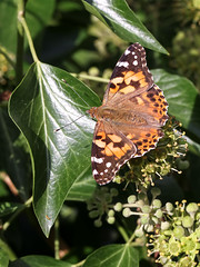 Painted Lady (chaz jackson) Tags: vanessacardui paintedlady nymphalidae butterfly insect macro lady painted nature