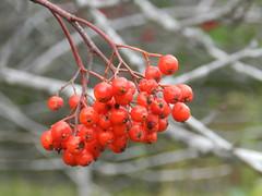 Autumn Berries, Nethy Bridge, Speyside, Oct 2016 (allanmaciver) Tags: winter berries red macro speyside cairngorm national park nethy bridge allanmaciver