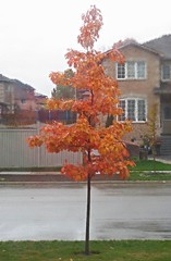 Red Oak in Autumn's rain (DianesDigitals) Tags: dianesdigitals oak redoak quercusrubra autumn