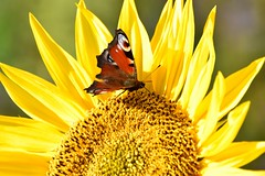 "HMM - Butterfly at the ""edge"" of the sunflower (chrissie.007) Tags: 20161015 makro sonnenflume sunflower blossom butterfly schmetterling macromondays pfauenauge tagpfauenauge peacockbutterfly blte bltenrand edge"