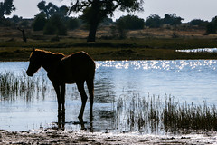 A horse in a pond on the way from Jaisalmer to Khuri, India (inchiki tour) Tags: travel photo india asia     rajasthan   hotelpleasanthaveli  tour daytrip   horse pond   water animal