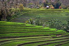 Bali Rice Terraces (EdBob) Tags: bali indonesia belimbing rice ricefield ricepaddy riceterrace riceterraces newrice terraces asia asiantravel 2016 green beautiful hut dramatic color colorful edmundlowephotography edmundlowe allmyphotographsarecopyrightedandallrightsreservednoneofthesephotosmaybereproducedandorusedinanyformofpublicationprintortheinternetwithoutmywrittenpermission palmtree palm tropical island