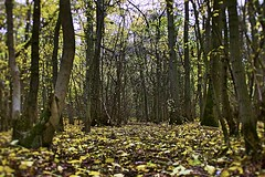 Get Lost in the Forest (rachel15fuller) Tags: forest woods forestry essex county england countryside rural floor leaves autumn trees seasons season seasonal fallen winter nature environment scenic fall park thorndon english