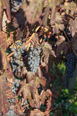 untitled-7 (christinaluthy) Tags: italy europe volcano mountvesuvius olive winebarrel wine grapes vineyard vesuvio grapevine