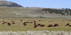 IMG_8177 Lamar Bison Herd (cmsheehyjr) Tags: cmsheehy colemansheehy nature wildlife bison buffalo yellowstone yellowstonenationalpark wyoming lamar