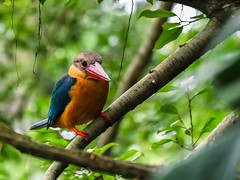 Fidel(a) the Charismatic Stork-billed Kingfisher (Robert-Ang) Tags: kingfisher storkbilledkingfisher jurongecogarden singapore nature wildlife wow