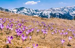 Crocuses in Retezat (sawomir ostrowski (kistry)) Tags: romania retezat carpathians crocuses mountains muniiretezat transilvania parculnationalretezat