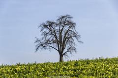 Lonely Dilsberg Tree # November 2016 (boettcher.photography) Tags: neckargemnd dilsberg germany deutschland herbst november autumn fall tree baum sashahasha boettcherphotography